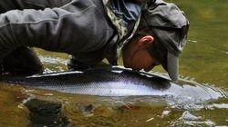 Pêche au saumon: vers une remise à l'eau