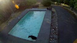 Un ours se baigne dans ma piscine!