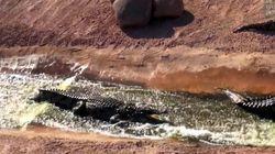 Des crocodiles s'amusent dans une glissade d'eau