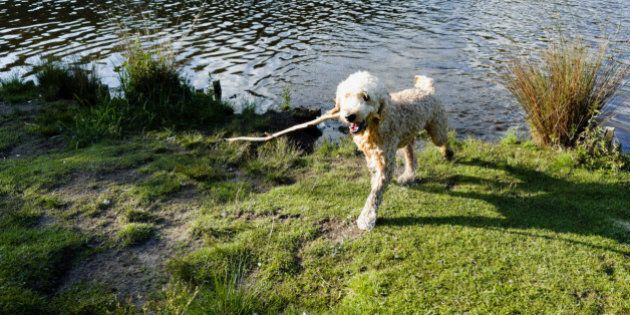 Happy dog has just fetched a stick from the water and is now carrying it in his mouth to give it to his...