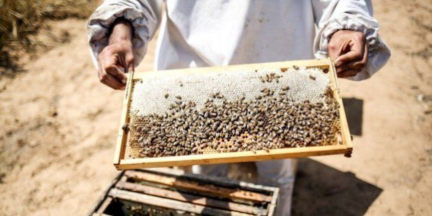 KHAN YOUNIS, GAZA - APRIL 25: Palestinian farmer Ahmad Kadih holds beehive frame covered by bees at 800...