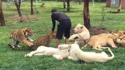 Un tigre sauve un homme d'une attaque de léopard