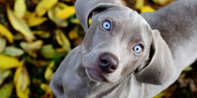 Weimaraner puppy in fall leaves.
