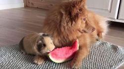 Ce chien et ce cochon d'Inde partagent le melon d'eau de l'amitié