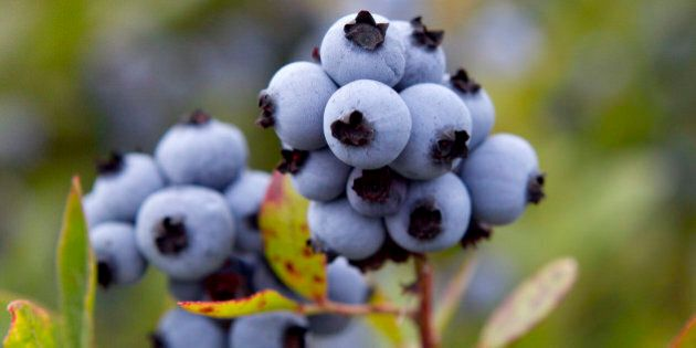 FILE - In this July 27, 2012 file photo, wild blueberries are ready for harvesting in Warren, Maine....