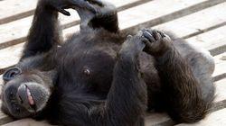 Deux chimpanzés deviennent des «personnes» au sens de la