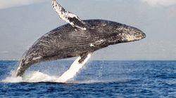Les baleines à bosse ne sont plus en danger
