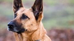 Des chiens renifleurs de cancer efficaces à 100