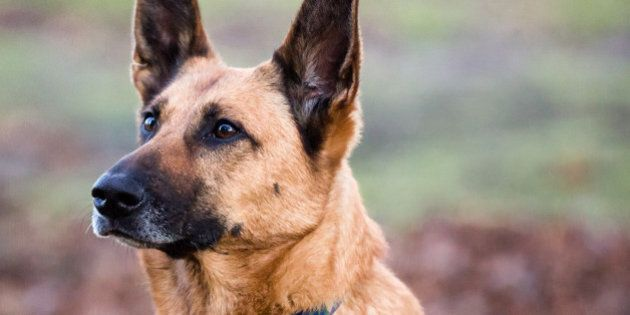 Belgian Shepherd Dog Playing in the