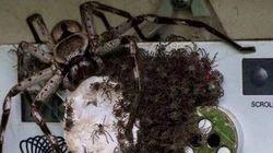 Cette araignée va vous décourager d'aller en Australie