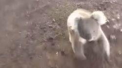 Ce koala poursuit une Australienne pour avoir un câlin