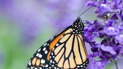 Tous à l'asclépiade: les papillons monarques ont besoin de notre