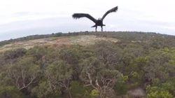 Aigle contre drone : qui