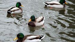 Des cas de grippe aviaire dans un élevage de