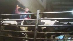 Cruauté animale: 20 accusations contre l'une des plus grandes fermes au