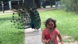 Cette fillette fuyant un paon a inspiré les adeptes de