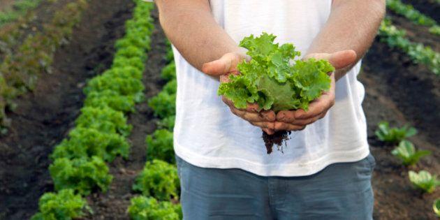 Man holding freshly cut lettuce at a farm