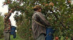 La saison des pommes sauvée de