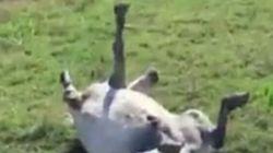 Ce poney joue à faire le mort et les internautes