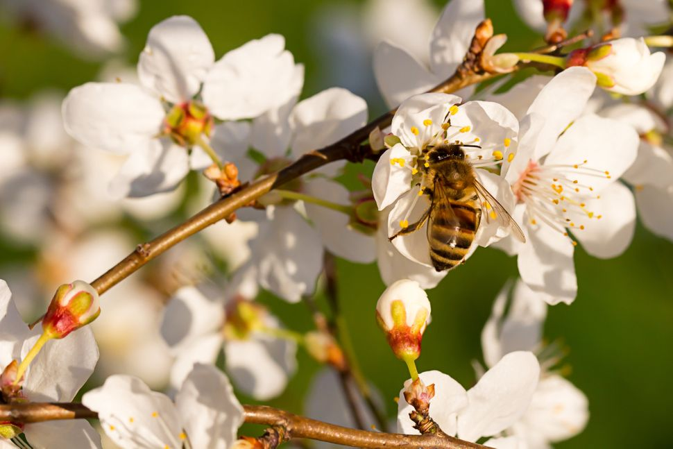 A bee pollinating an almond tree.