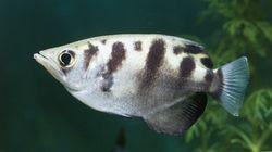 Un poisson qui a l'oeil: il reconnaît les