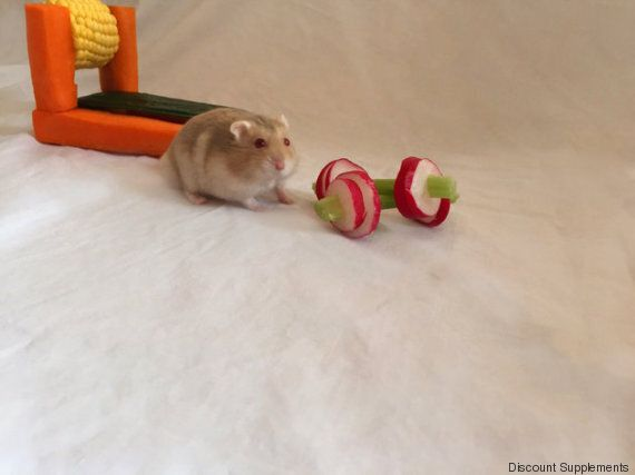 Ce Hamster Halterophile Va Vous Donner Envie De Vous Remettre Au Sport Photos Huffpost Quebec Vivre