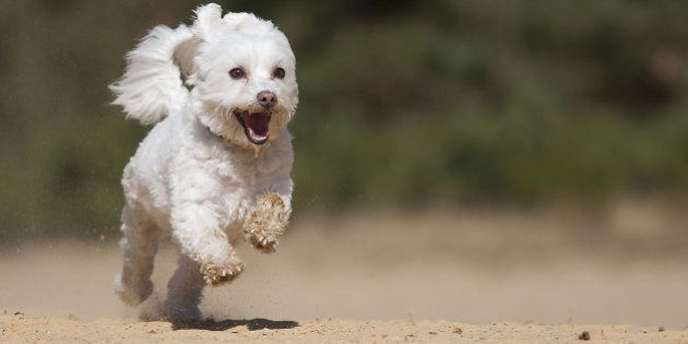 Happy running Malteser.Little white dog running on the yellow sand with 3 feets above the