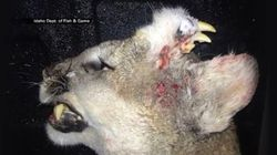 Ce puma tué en Idaho avait une difformité assez