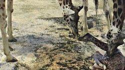 Découvrez en photos le premier bébé de l'année au zoo de