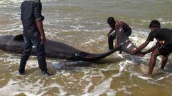 Inde: 45 baleines retrouvées mortes sur une