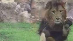 Ce lion croyait pouvoir sauter sur cet enfant... et PAF, la vitre!