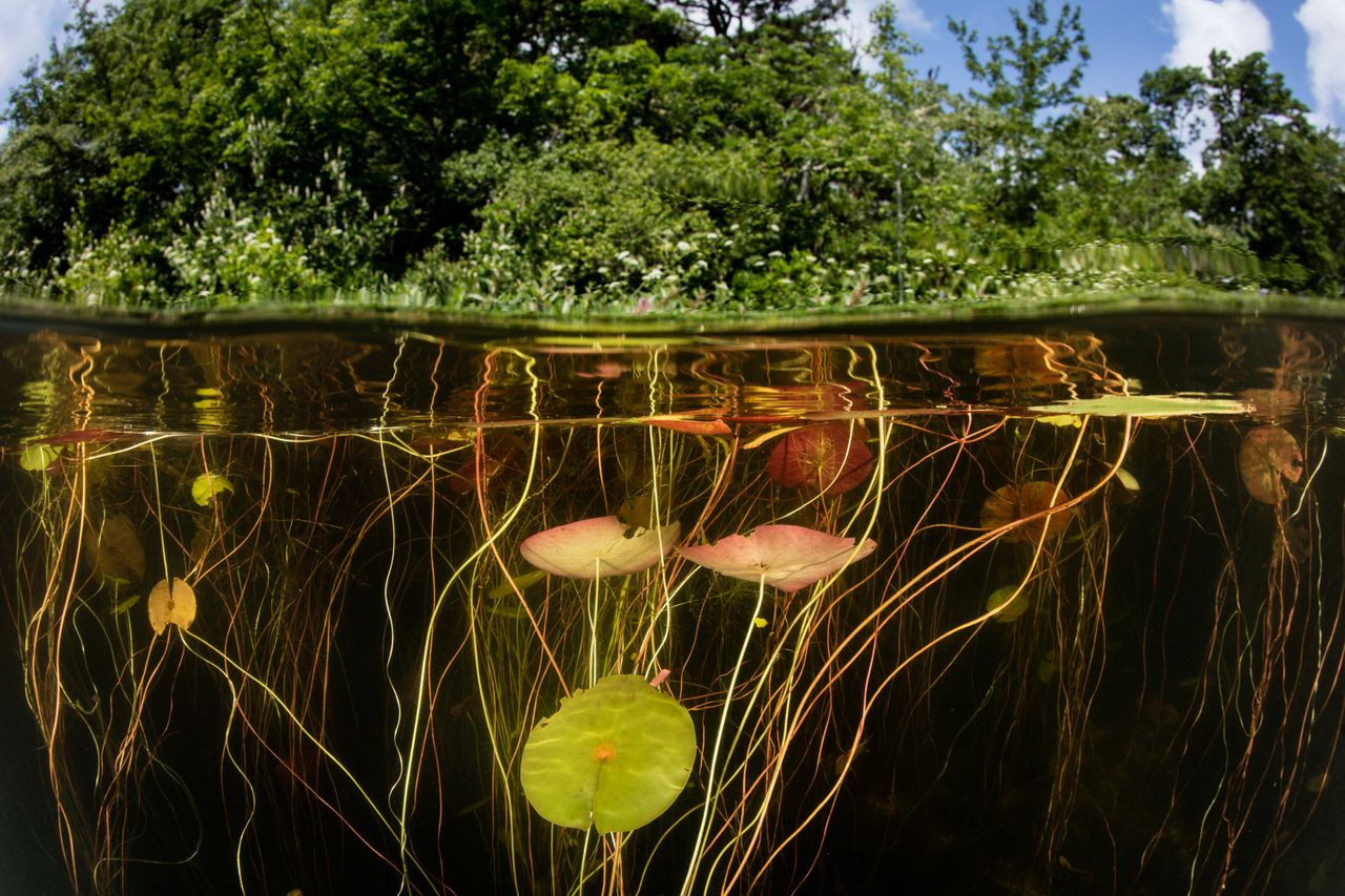 Lily pads, which house many species, grow on the edge of a freshwater lake in Cape Cod, Massachusetts.
