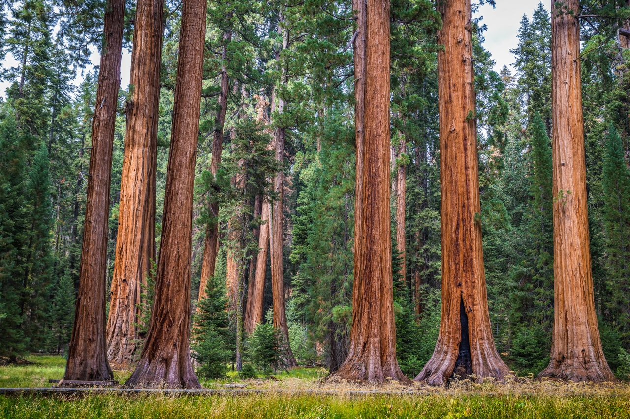 Giant sequoia trees, also known as giant redwoods, in Sequoia National Park, California.