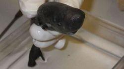 Un «requin de poche» minuscule et très rare découvert par des scientifiques