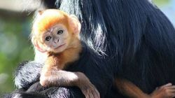 Un adorable petit singe roux (et vraiment rare)