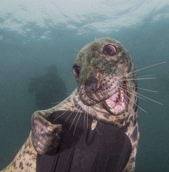 Ce phoque souriant est le grand gagnant du concours «Underwater Photography»