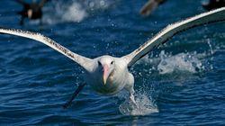 D'ici 2050, 99% des oiseaux marins auront avalé du