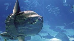 Un poisson rare aperçu dans le