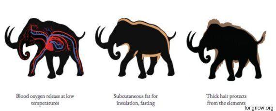 La résurrection des mammouths se fera peut-être plus rapidement que vous ne le