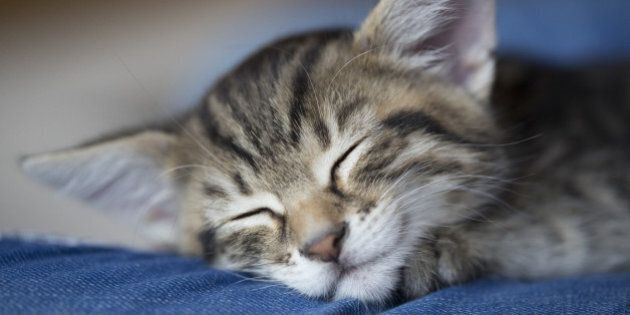 Sleeping young tabby cat with big