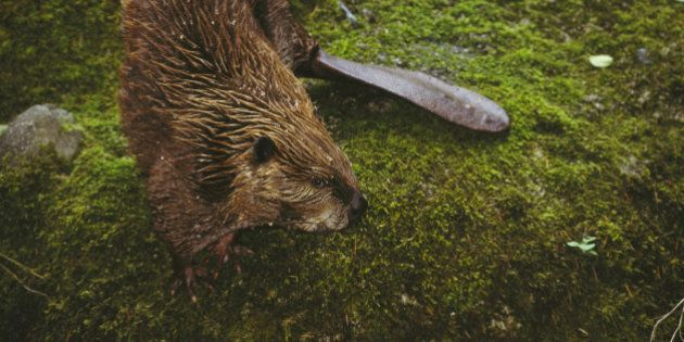 beaver castor canadensia on mossy river bank washington,