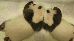 Les pandas jumeaux du Zoo de Toronto : déjà un mois!