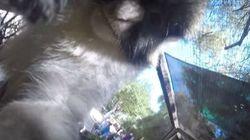 Ce singe se filme avec la GoPro d'un visiteur