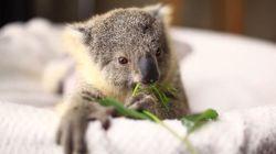 Ce bébé koala va illuminer votre journée