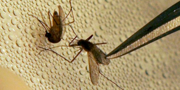 A mosquito is sorted according to species and gender before testing at the Dallas County mosquito lab...
