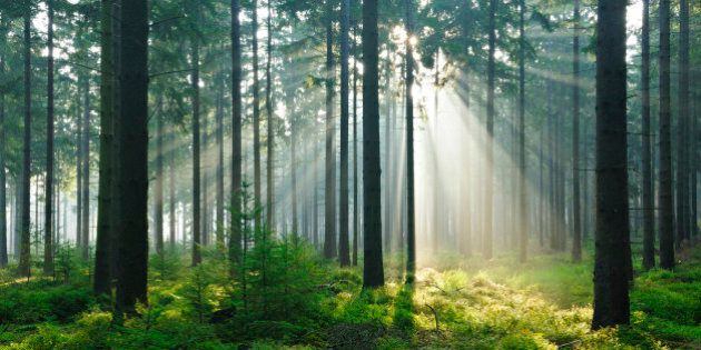 Fairytale Forest - Sunbeams in Natural Spruce