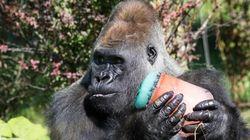 Au Zoo de Granby, on donne des popsicles géants aux gorilles