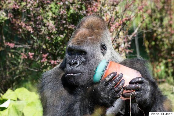 Les gardiens du Zoo de Granby offrent des popsicles à leurs animaux