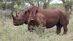Parti rhinocéros : prises de conscience et dérapages