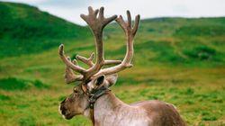 Le caribou forestier n'a pas besoin de travailler pour se